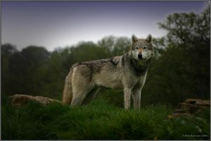 Wolf Side Profile 3 by CoupeKid