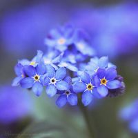 Forget Me Not II by Milasery