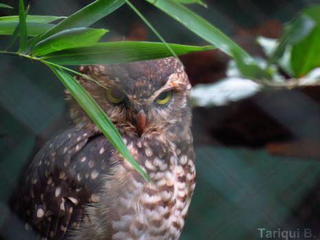 Owl at the zoo by tariqui