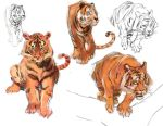 Tiger Studies by medders