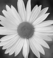 Daisy 2011 Black and White by RachelDS