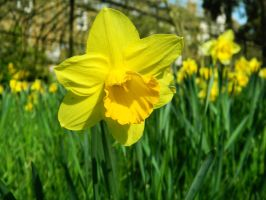 Daffodil 1 by MunsenTheBiscuit69