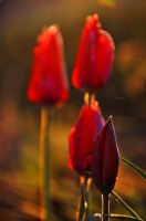 The Tulip Bud by Althytrion