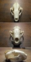 European badger skull by DeerfishTaxidermy