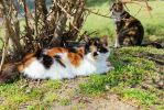 .:The Vibrancy of a Calico:. by Shadouge4eva