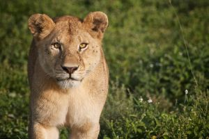 Lioness on the prowl by Simon-Hunt