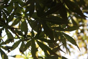 dappled leaves by xxtheSilent