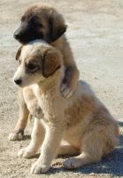 Afghan Pups by Dreadlands
