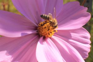 honey Bee on a Flower #3 by Darklordd