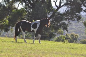 Pinto QH x Stock by DeepBluePhotography