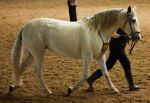 STOCK - 2014 Andalusian Nationals-149 by fillyrox