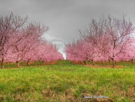 Orchard Blossoms by jim88bro