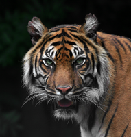 Tyger. by FSGPhotography