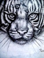 Tiger by boy140495
