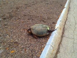 Snapping Turtle I by SiVousCroyez