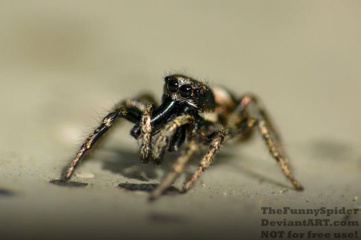 Male Zebra Jumping Spider - Salticus scenicus 2017 by TheFunnySpider