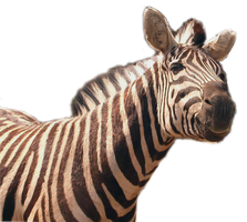 Zebra PNG stock by lubman
