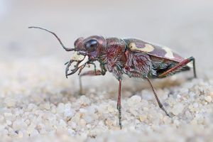 TIGER BEETLE by ELKAPL