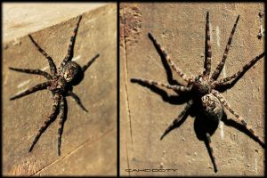 Spider by ChadDoty