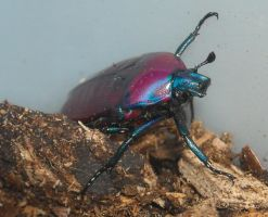 purple jewel beetle by ENRAGEDBAKU