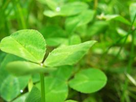 Stock: 3-Leaf Clover by Stock-By-Crystal