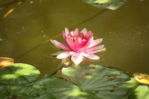 water lily by applnz
