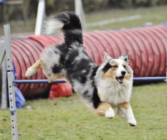Australian Shepherd 1 by Lakela