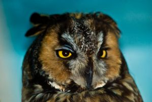 20100530-0354 Horned Owl by Yellowstoned