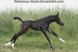 Arabian Colt 005 by Notorious-Stock