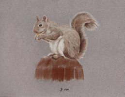 Squirrel Sketch by jdrainville