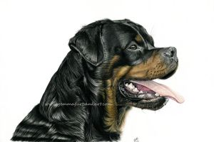 Rottweiler - Dog Portrait - Pet Portrait by GemmaFurbank