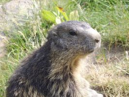 Marmot 3 by FraterSINISTER