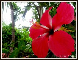 Red Hibiscus by katrinaanne