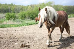 haflinger 1 by violet--stock