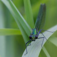 Banded Demoiselle - female by LunaticX