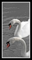 Cooperative Swans by moonstomp