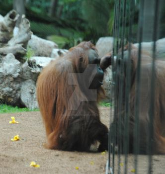 Orangutan in the Reflection by musiclover25162