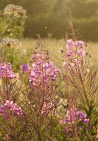 willowherbs by PhotoFrama