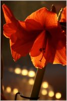 Amaryllis 3 by Golden-Plated