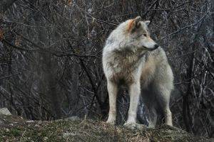 Wolf on Hill by vincepontarelli