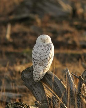 Snowy Owl II by queegqueg
