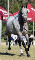 STOCK - 2014 Arabian Challenge-125 by fillyrox
