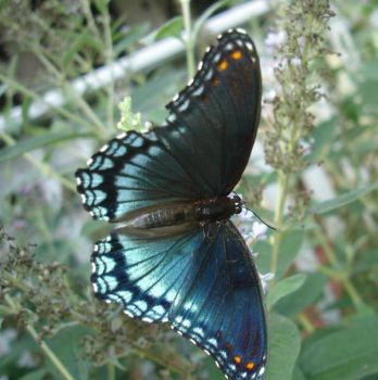 Red Spotted Purple by duggiehoo