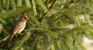 Female Cardinal On Pine by kl61