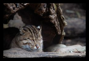 Snoozing Fishing Cat by hoboinaschoolbus