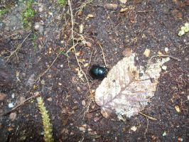 More of the black beetle by Mecarion