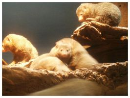 Dwarf Mongooses by eosthilas