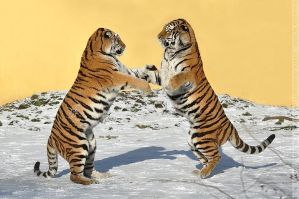 Siberian Tiger (021) - Beauty and Elegance by Sikaris