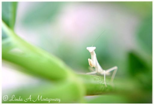Praying Mantis by in2photography