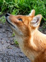Dhole 4 by Exthree-photo